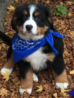 Akc Bernese Mountain Dog Puppies And Dogs For Sale Pets Classified Ad Oregonlive Com Bernaise