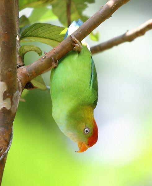 Oriental Bird Club Image Database Sri Lanka Hanging Parrot Loriculus Beryllinus Beautiful Birds Bird Pictures Wild Birds
