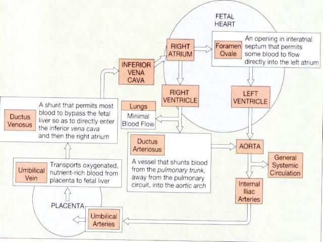Anatomy And Physiology: Fetal Circulation | Pinterest | Anatomy ...