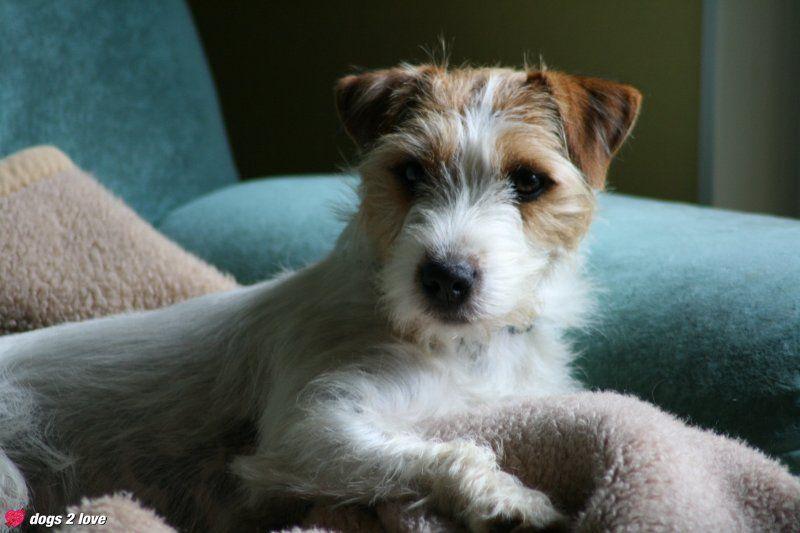 Cindy / Parson-Russel-Terrier
