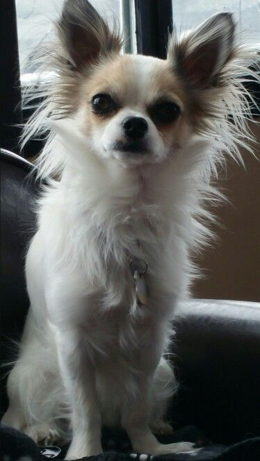 My Chiko Mixed Apple Head Dear Head Long Hair Chihuahua Dogs