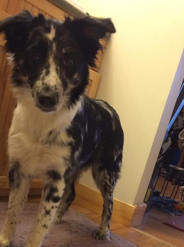 Adopt Wanda On Collie Rescue Dogs Collie Mix