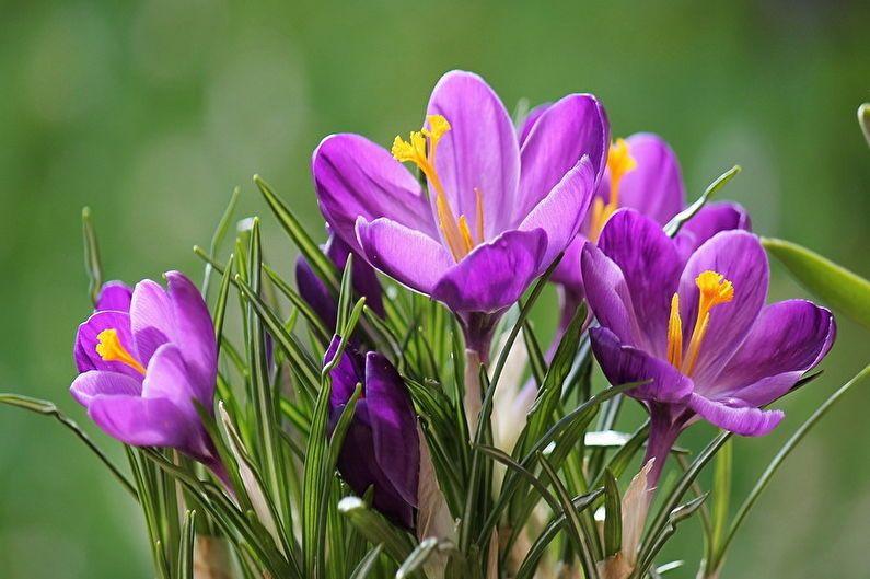 Крокусы (шафран): 90 фото цветов, виды, выращивание и уход ...