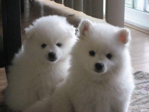 5 Lbs Of Fluffy Puppy Love Two Miniature American Eskimo