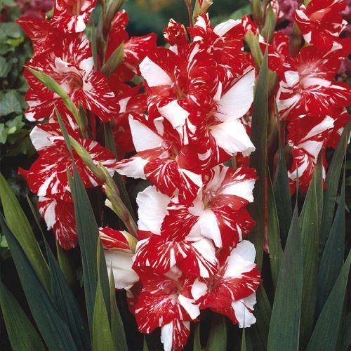 Hybrid Gladiolus Zizane Bulb Flowers Gladiolus Flower Beautiful Flowers
