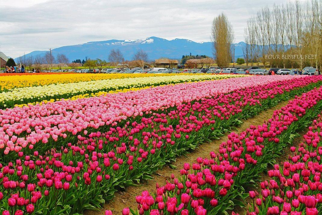 17bd78558bd5bafd11021a0f38635b5d - Tulip Top Gardens 2019 Tulip Top Gardens 5 October
