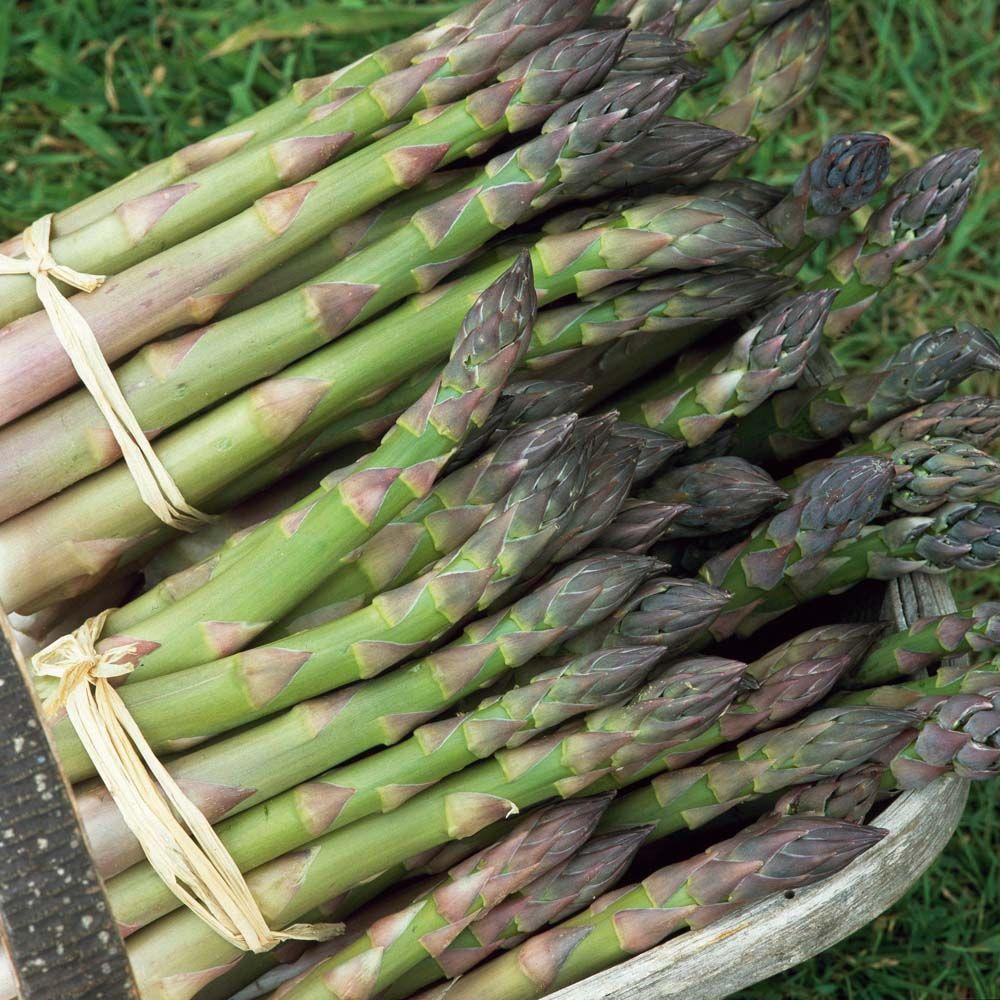 Asparagus officinalis martha washington asparagus