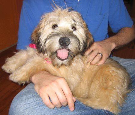 Wheaten Terrier Adoption Wheaten Terrier Soft Coated Wheaten
