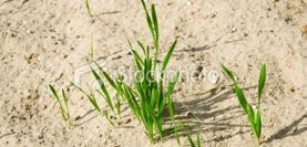 What Grass Grows Best In Sand Yard Growing Grass Sandy Soil
