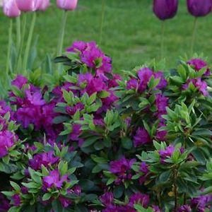 1 X Purple Azalea Japanese Evergreen Shrub Hardy Garden Plant In Pot Ebay Azaleas Landscaping Evergreen Shrubs Plants