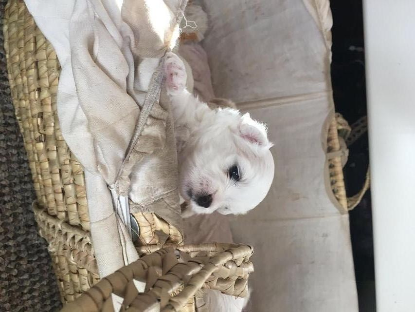 Lhatese Puppies For Sale For Sale In Manchester Lancashire