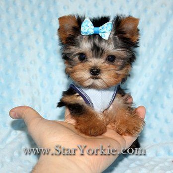 Photos For Puppy Heaven Teacup Toy Puppies For Sale Yelp Puppies Teacup Puppies Cute Baby Animals