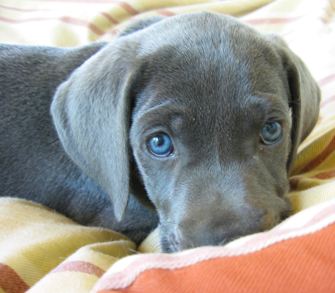 Dark Chocolate Weimaraner Puppy With Beautiful Blue Eyes