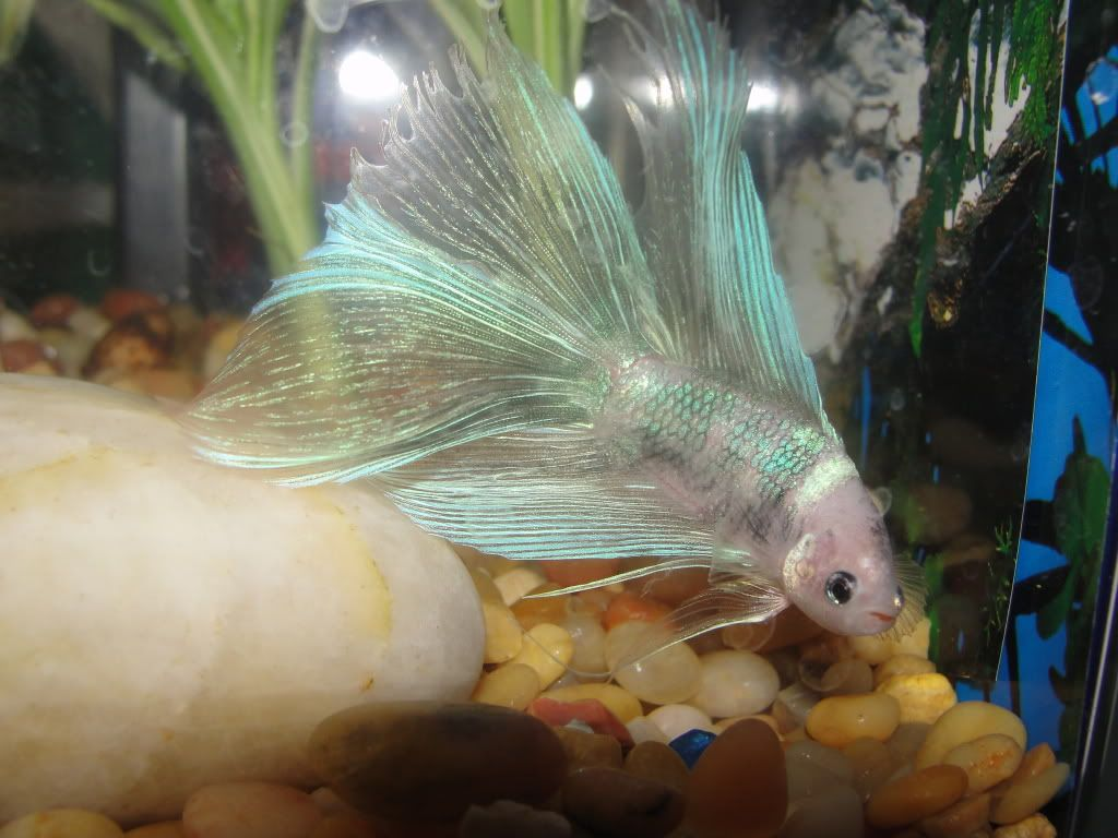 prettiest betta in the world | My most prized possession and show ...