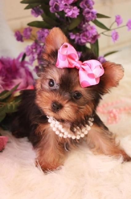 Teacup Yorkie Notice My Pearls And Polka Dot Bow Teacup Yorkie For Sale Teacup Puppies Teacup Yorkie