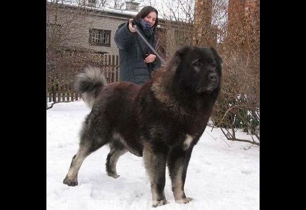 Perros Gigantes Perros Enormes Perros Perros Gigantes