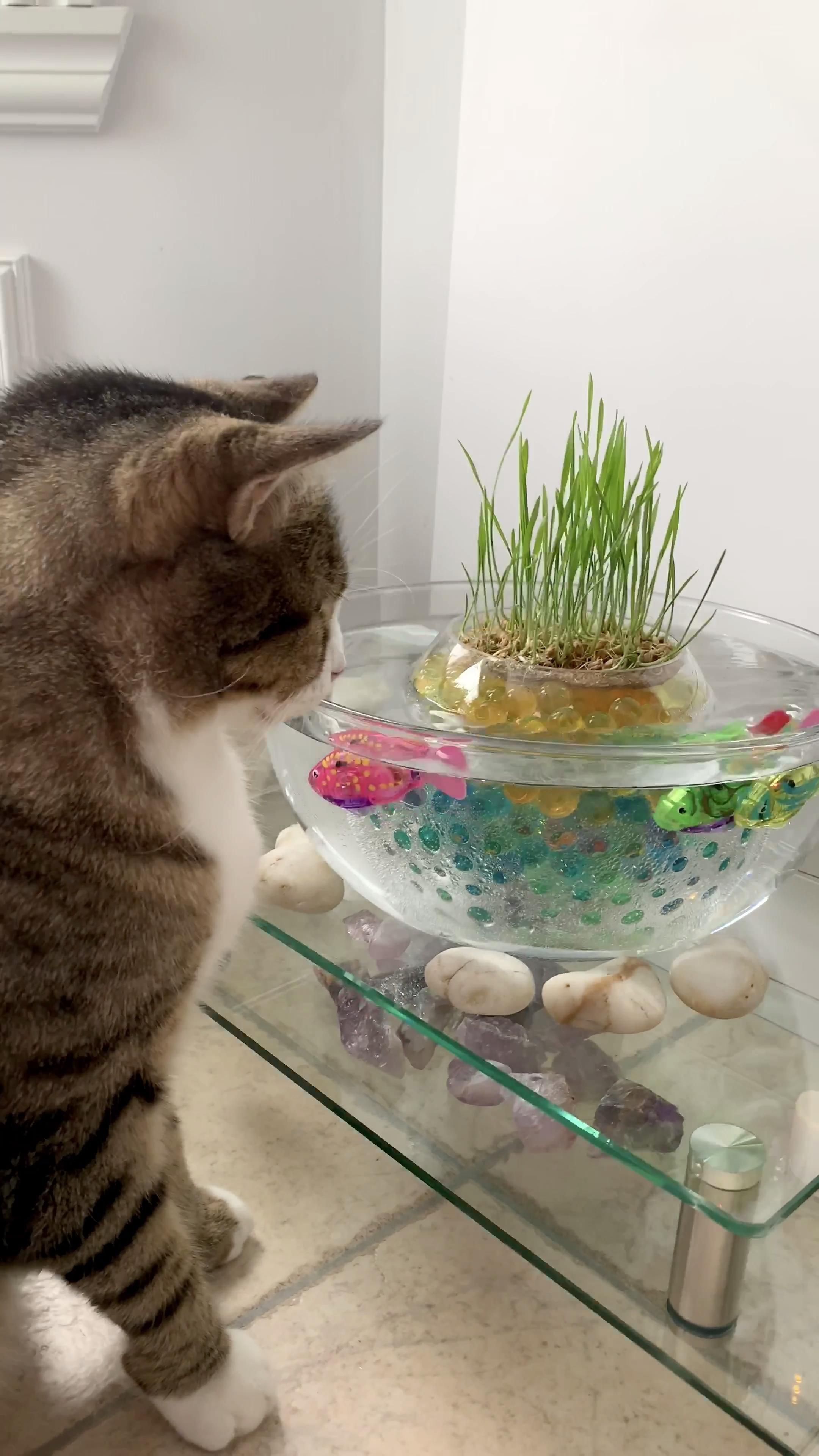 This simple and beautiful cat grass pond is easy to set up. Grow the cat grass in water beads instead of soil. Add robot fish to engage your cat in interactive play while keeping your cat hydrated. Embellish with river rocks or crystals for positive and calming zen. The perfect interactive enrichment salad bar for bored kitties!