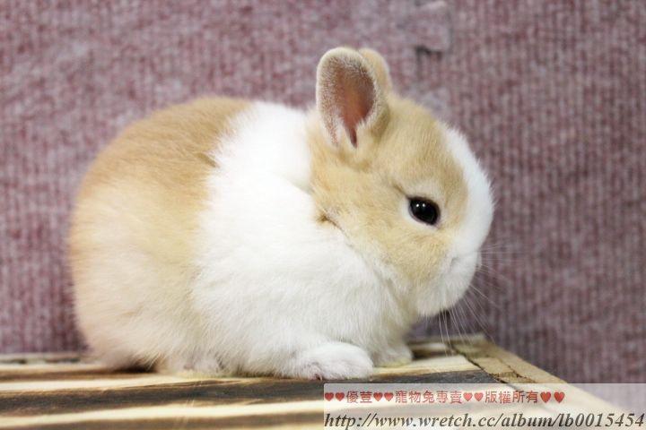 Pin By Agueda C On Rabbits Bunnies Conejos Dwarf Rabbit