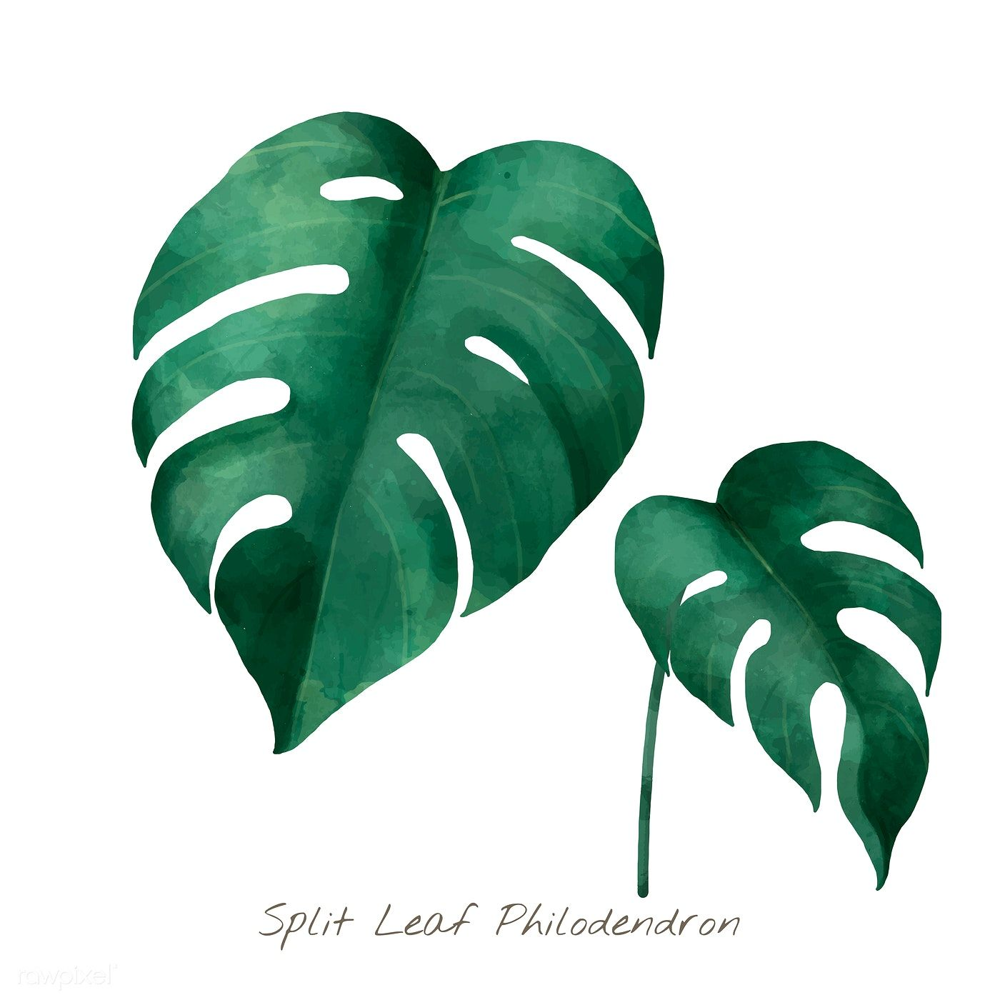 Download Premium Vector Of Split Leaf Philodendron Isolated On