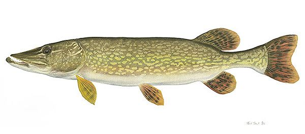 Freshwater game fish of north america photos the for North american freshwater fish