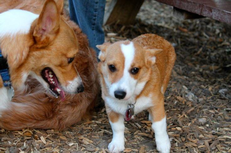 Hello Little Puppy Little Puppies Puppies Corgi