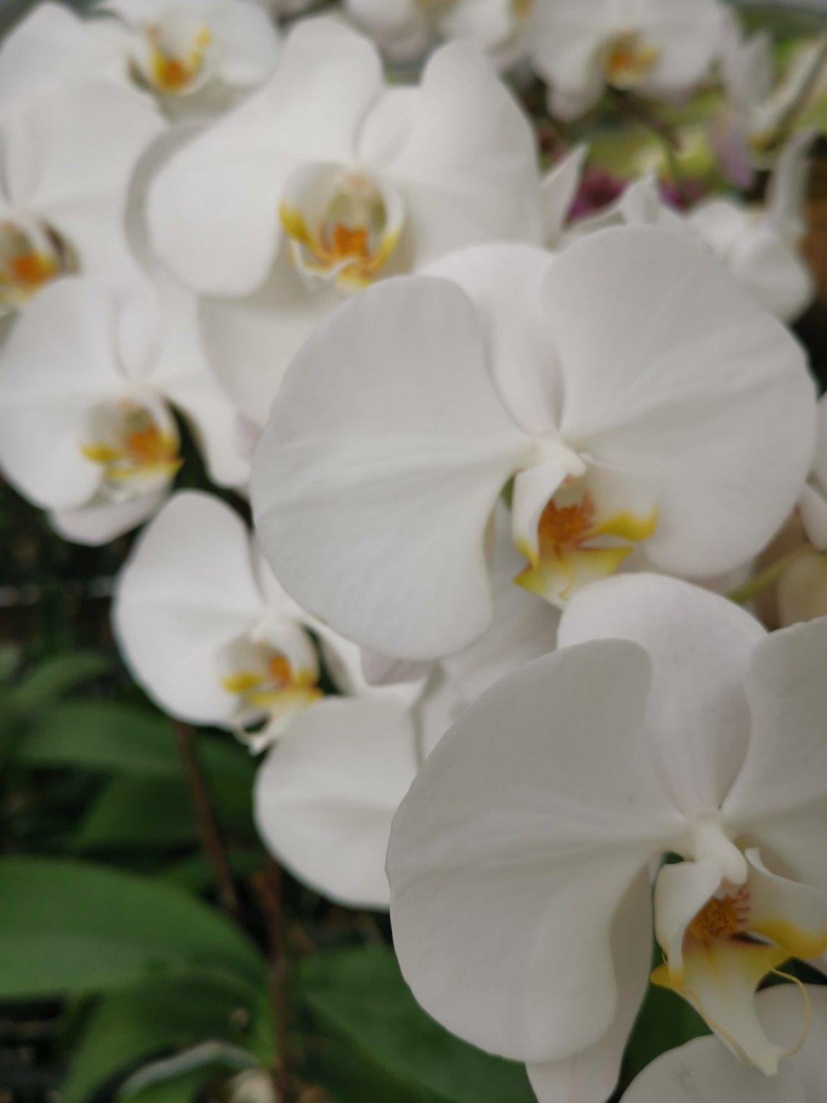 White Butterfly Orchid Orchid Flower Arrangements Flower Delivery Austin Florist