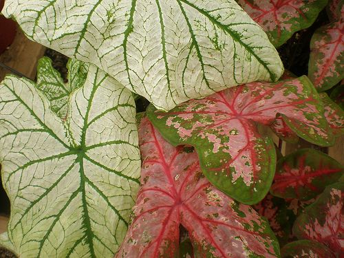 Caladiums | Flickr - Photo Sharing!