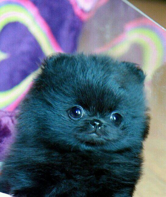 Baby Black Pomeranian | Animals - Puppies | Pinterest ...