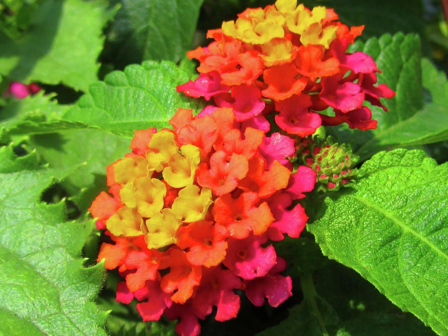 Two Lantana Flowers By Vijay Sharon Govender Lantana Flowers Flowers Delivered