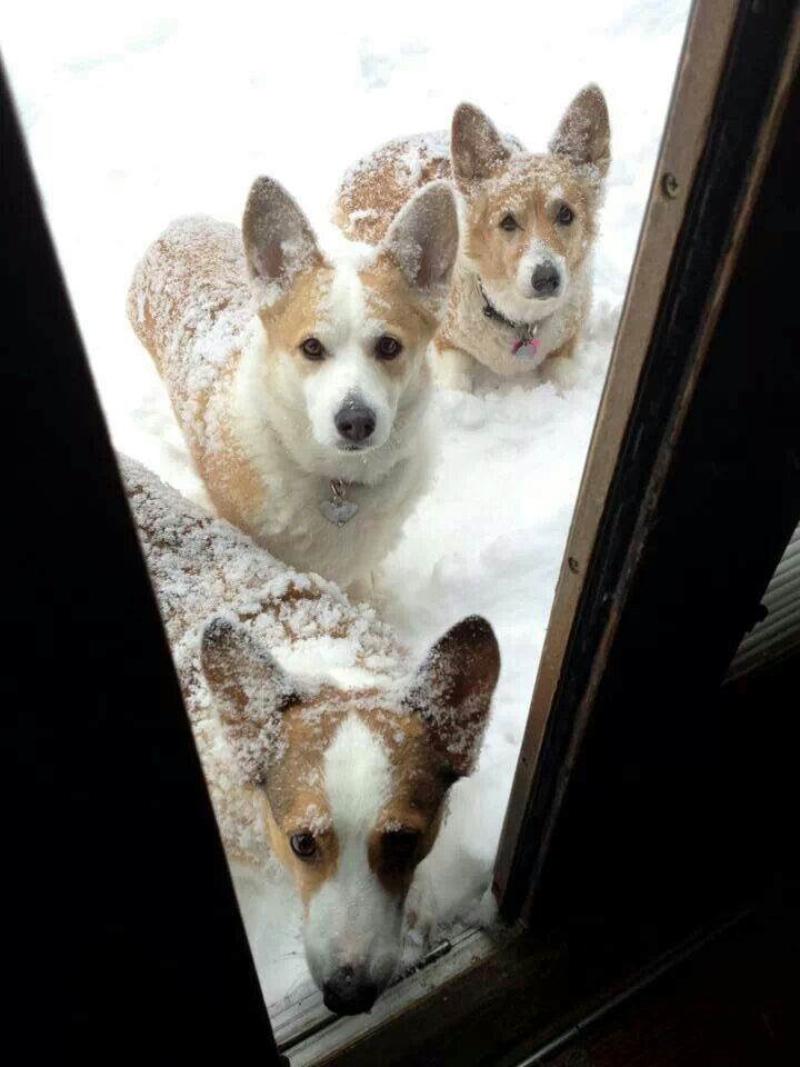 Corgis In The Snow From Your Friends At Phoenix Dog In Home Dog Training K9katelynn See More About Scottsdale Dog Training At K9kat Corgi Corgi Dog Cute Corgi