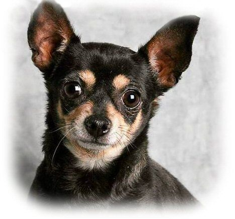 Chihuahuas On Sale In Utah Dog Blog Dog Adoption Chihuahua
