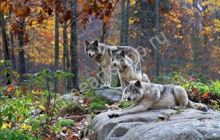 Волки на камнях в осеннем лесу, картина раскраска по ...