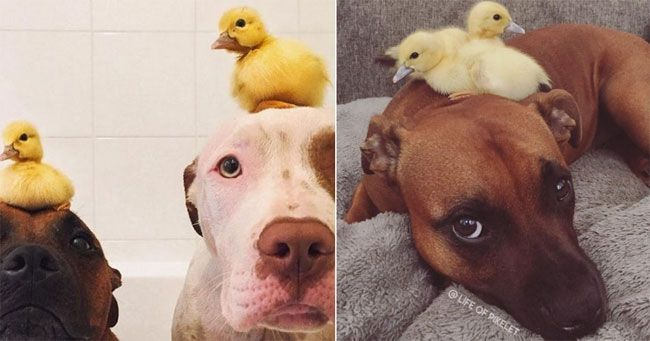 Wednesday's Aww: These Dogs Love Their Ducklings!