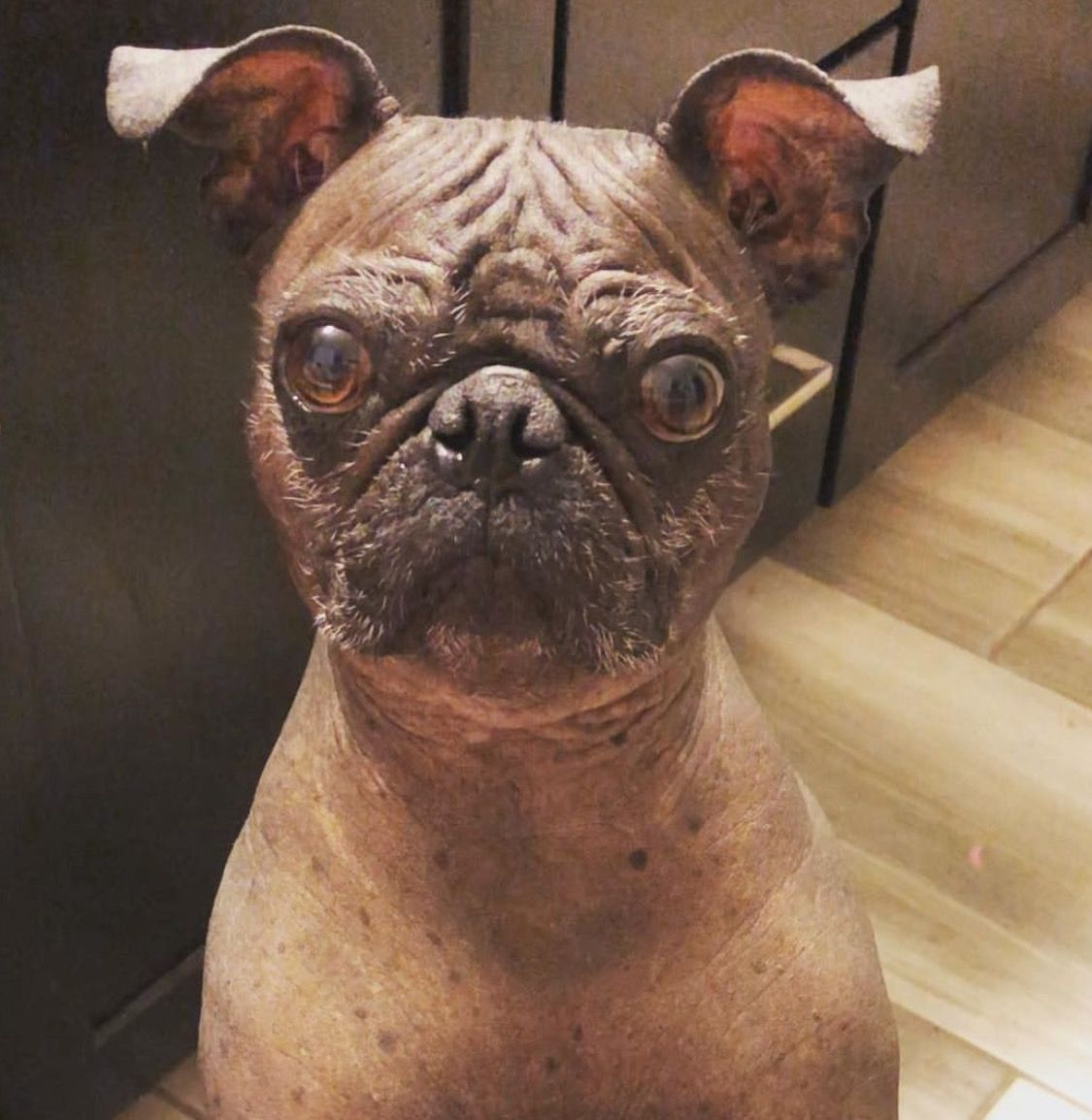 This Is What A Pug Looks Like With No Fur Pugs