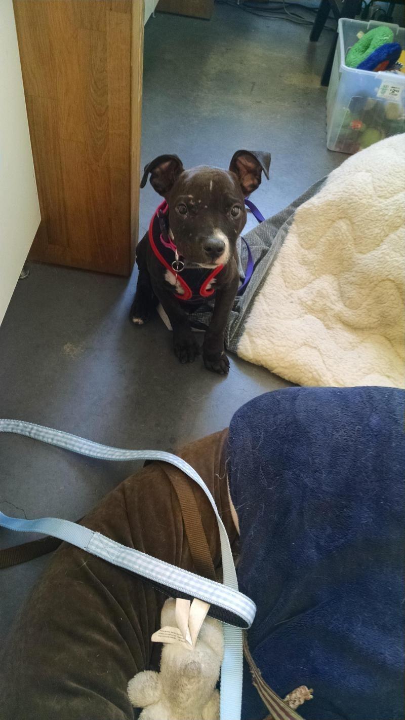 Adopt Melissa on Petfinder Pitbull terrier, Bull terrier