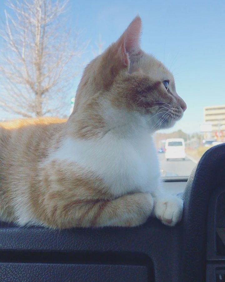 "119 Likes, 2 Comments - 笹倉慎介 (@sasakura_shinsuke) on Instagram: ""ナイスキャッチするトト . #cat#猫#ねこ#ネコ#茶トラ#茶トラ白#茶白#トトフォト"""