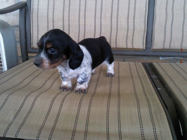 Pin By Michelle Hoekstra On Pets Puppies Kittens And More Dachshund Puppy Dachshund Cute Animal Pictures