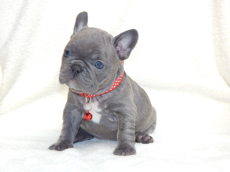 Pin On Bulldog Francese Blu