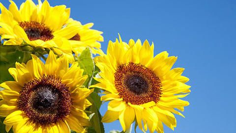 Bring a cheerful glow to your garden by planting gloriously bright sunflowers, suitable for any region. Photo by Getty Images