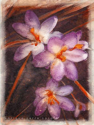 Rosa de azafrán