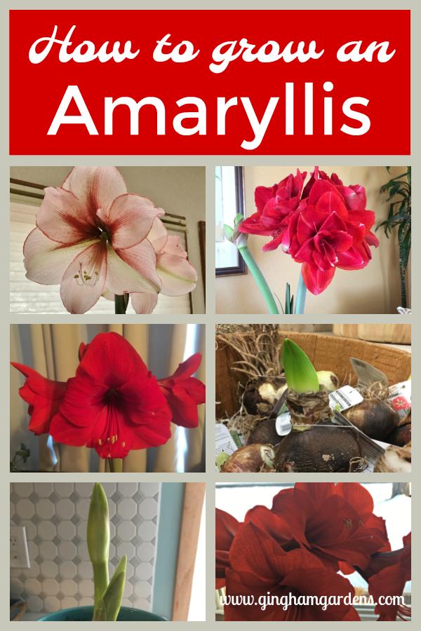 How To Grow Amaryllis Indoors The Perfect Winter Flower Gingham Gardens Amaryllis Plant Amaryllis Winter Flowers
