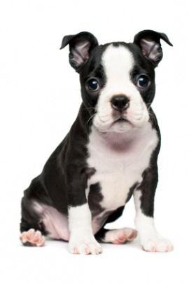Boston Terrier May Be My Next Dog Boston Terrier Dog