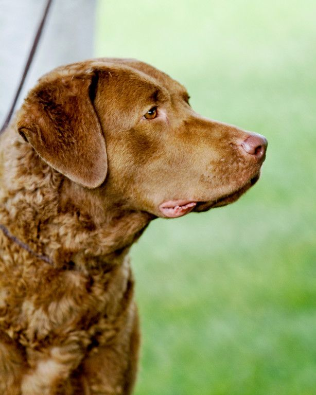 Chesapeake Bay Retriever Cheasapeake Bay Retriever Retriever