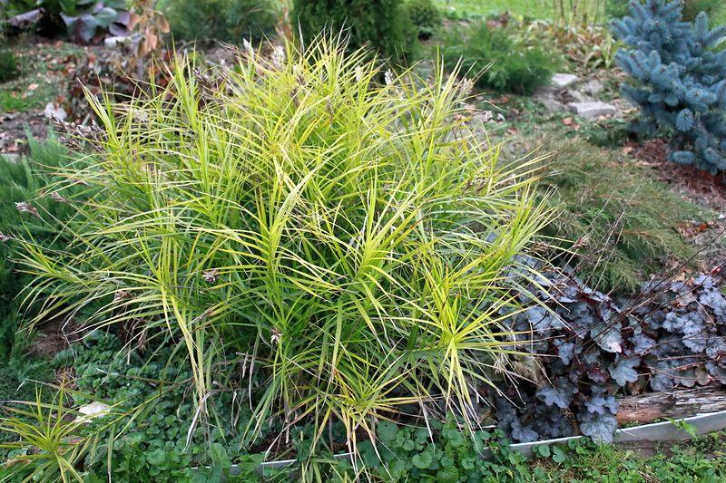 Carex muskingumensis 4.JPG