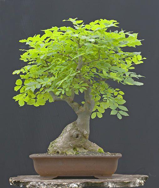 5 X Fraxinus Excelsior Ash Bonsai Trees Starter Deciduous Probe3 Bonsai Tree Bonsai Indoor Bonsai