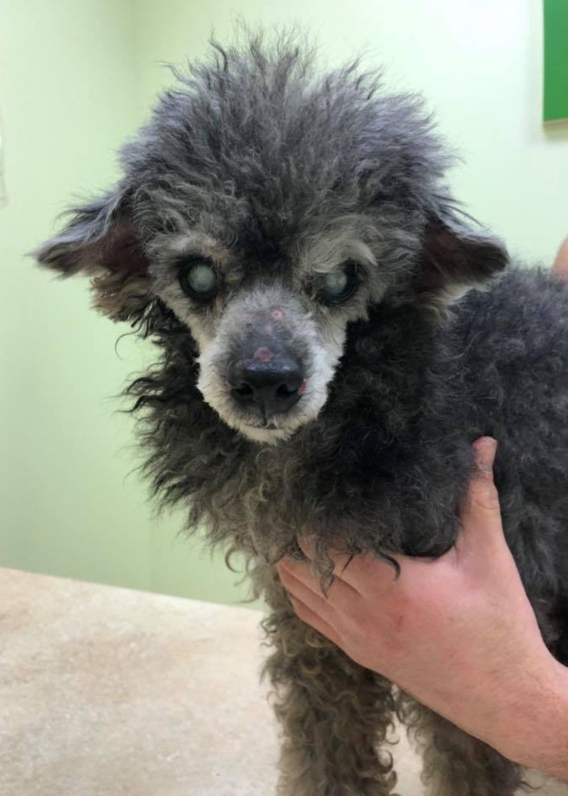 Poodle (Miniature) dog for Adoption in New York, NY. ADN