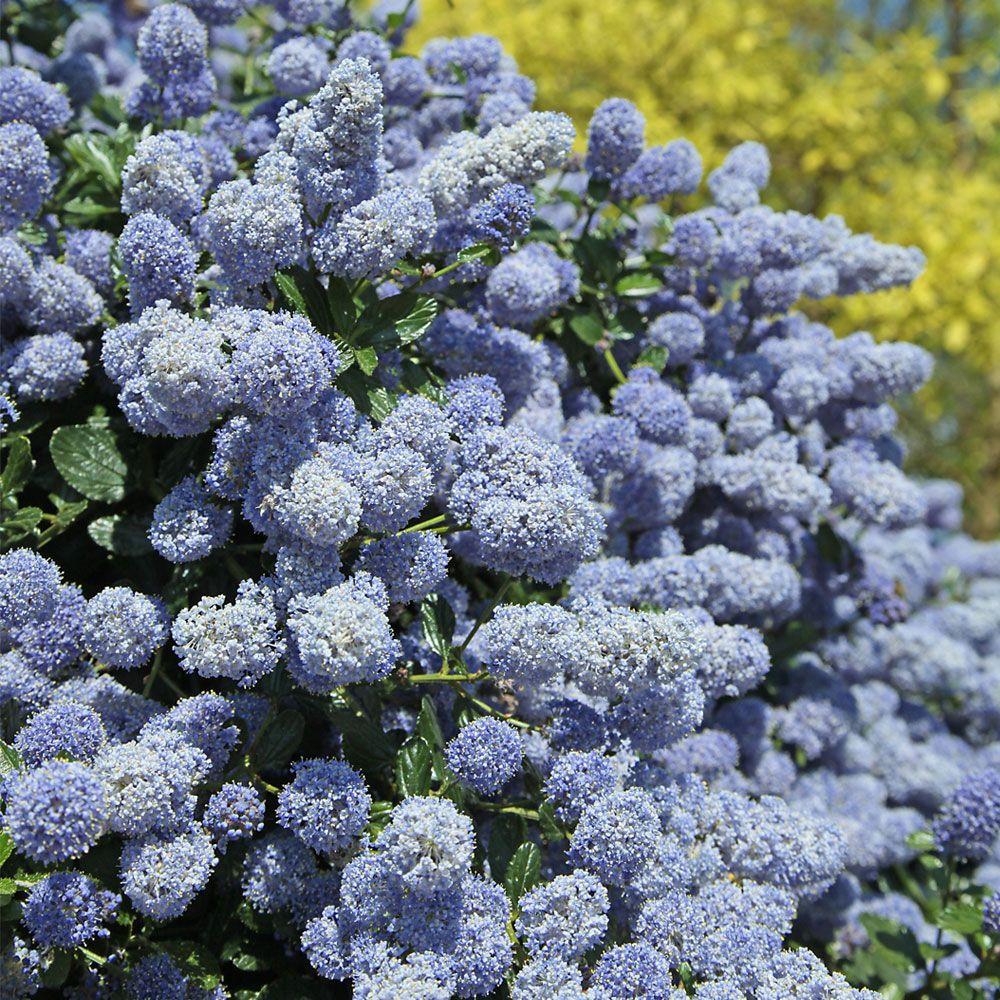 Ceanothus x delileanus 39 gloire de versailles 39 large plant for Large flowering shrubs