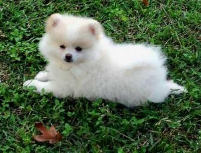 Pomeranian Husky Mix Pomeranian Puppy White Pomeranian Puppies