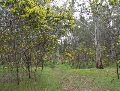 WATTLE Canopy tree. Various species. & WATTLE: Canopy tree. Various species. | Forest Garden | Pinterest ...