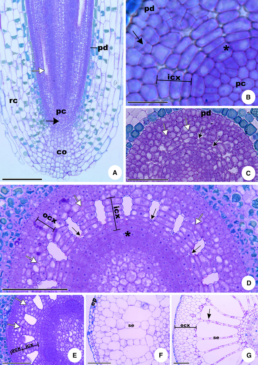 Root apex and growth in Pistia stratiotes. A, longitudinal